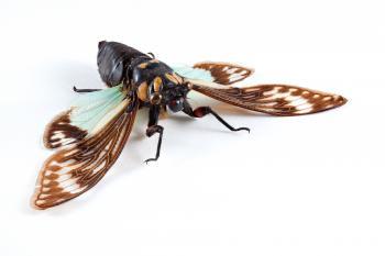 Cicadidae Sp Cicada