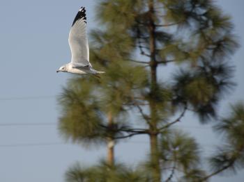 Circling Seagull