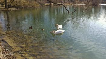 Cisnes Carolasee Dresde