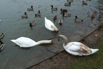 Cisnes en Carolasee