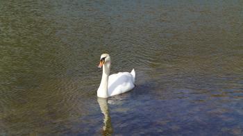 Cisnes Neuer Teich Dresde