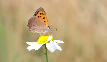 Close Photography of Orange and Brown Butterfly on White Daisy during Daytime