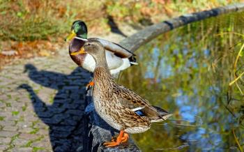Close-up of Mallard Ducks on Water