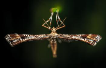Close-Up Photo of Brown Plume Moth