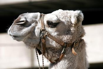 Close Up Photo of Gray Camel