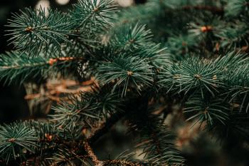 Close Up Photo of Green Pine Tree