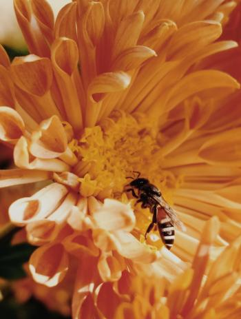 Close-Up Photo of Honey Bee on Yellow Petaled Flowers