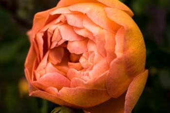 Close Up Photo of Orange Petaled Rose