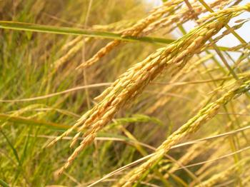 Close Up Photo of Rice Grains during Daytime
