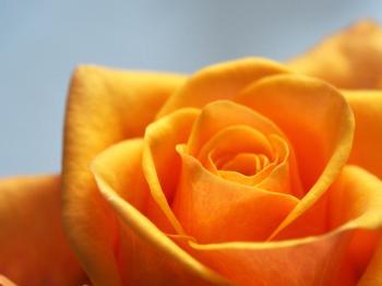 Close Up Photo of Yellow-Orange Rose