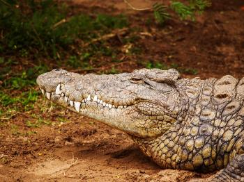 Close-up Photography of Brown Crocodile