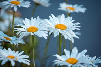 Close Up Photography of Daisies