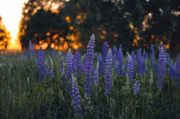 Close-up Photography of Lupines