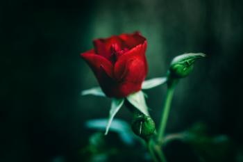 Close-Up Photography of Red Rose