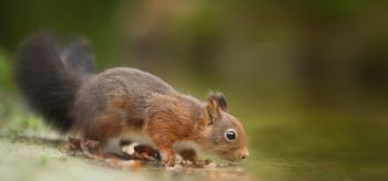 Close-Up Photography of Squirrel Drinking