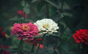 Zinnia flower closeup