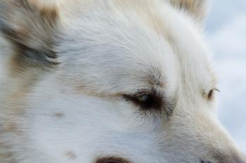 Close up with a husky