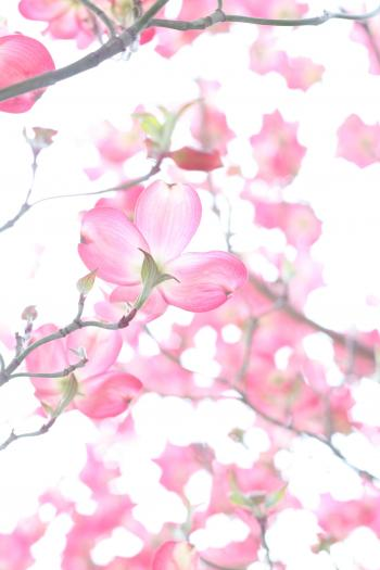 Closeup Photo of Cherry Blossoms