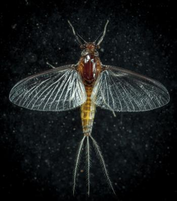 Closeup Photo of Mayfly
