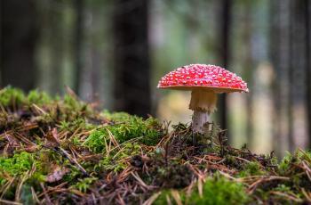 Closeup Photo of Red and White Mushroom