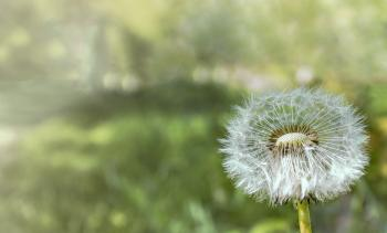 Closeup Photograph of White Dandelion