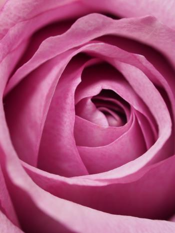 Closeup Photography of Pink Rose Flower
