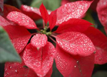 Closeup Photography Of Red Poinsettia With Water Droplets