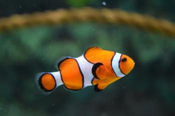 Clownfish Fish