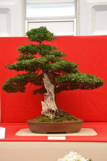Common hawthorn bonsai with shari