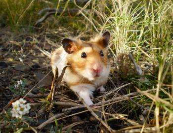 Cookie the wild hamster!