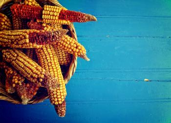 Corn cobs in a basket on rustic blue wooden background