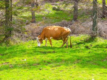 Cow in the forest