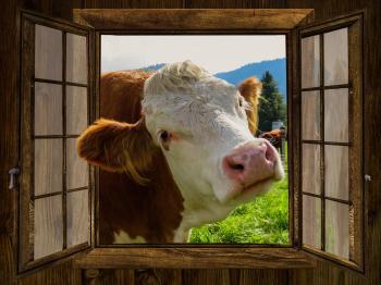 Cow through the Window