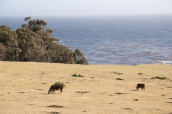 Cows @ Big Sur, CA #1