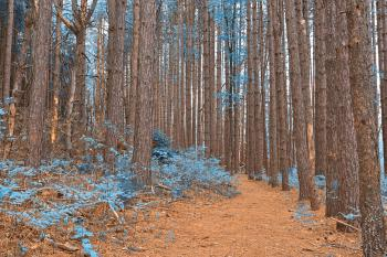 Cranesville Swamp Pine Trail - Sapphire Fantasy HDR