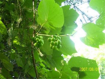 Crouching Hillbillie Hidden Grapes