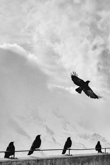 Crows at high Altitude