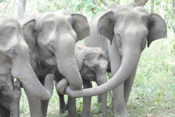 Cute Baby Elephant With Family