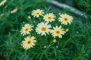 Daisy Flower Surrounded by Grass
