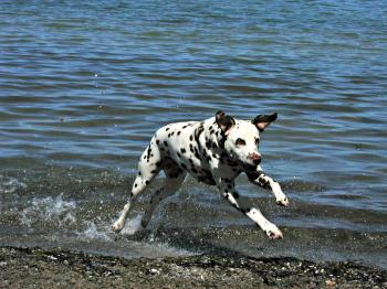 Dalmatian Dog