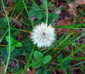 Dandy Lion Flower Seeding