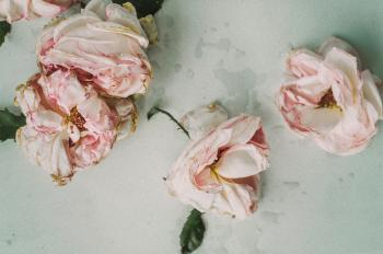 Dead Pink Roses