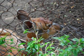 Deer at Surabaya Zoo