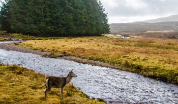 Deer Standing in Front of River
