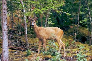 Deer stare
