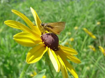 Delaware Skipper on the Flower