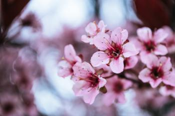 Delicate pink cherry blossoms in the first warm days