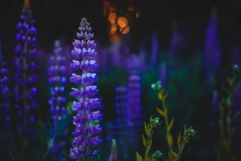 Depth of Field Photography of Purple Flowers