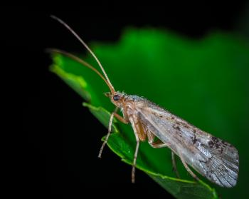 Dobsonfly on Green Leaf in Macro Photography