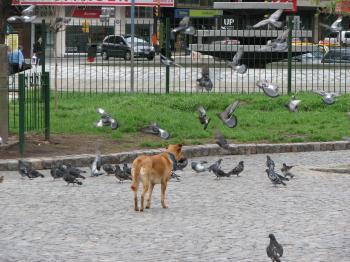 Dog chasing pigeons
